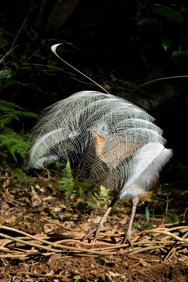 Albert's Lyrebird displaying