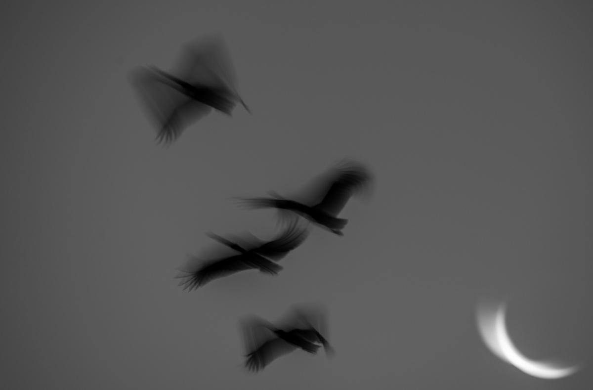 Cormorants flying past moon
