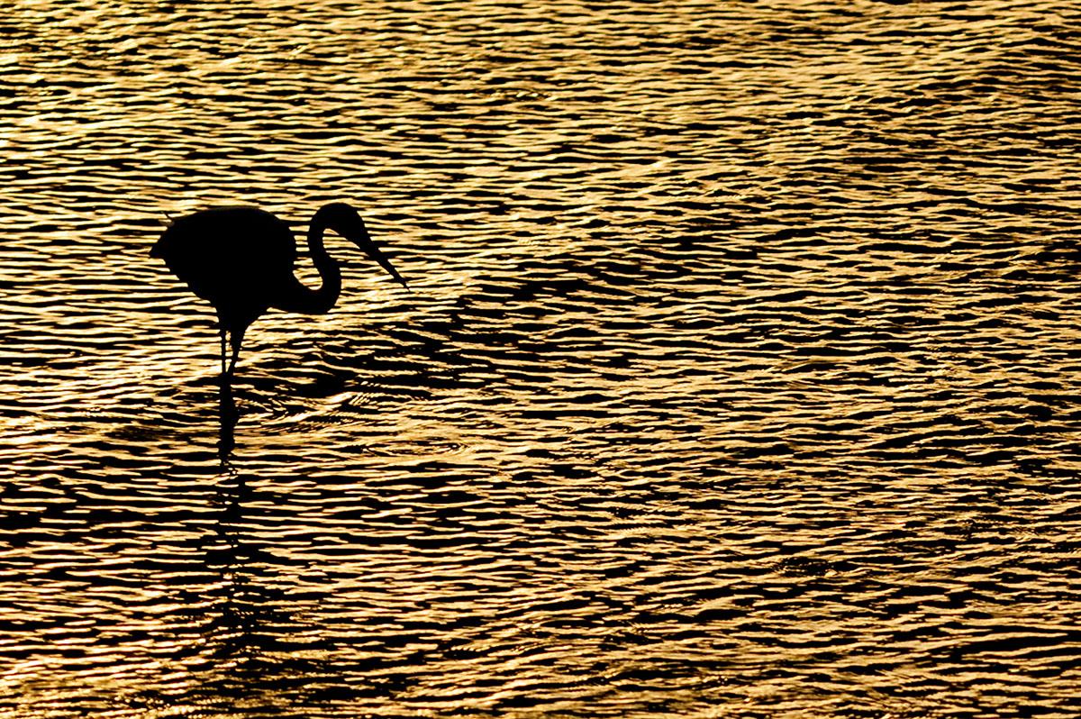 Egret silhouette