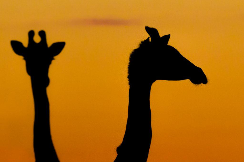 Giraffes - Okavanga Delta - Africa