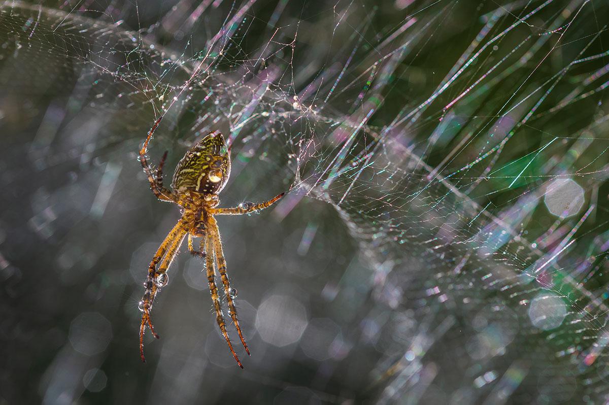 Golden Orb Spider after morning rain