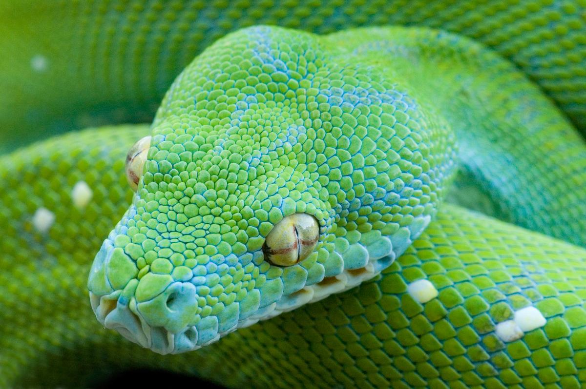 Green Tree Python - clone