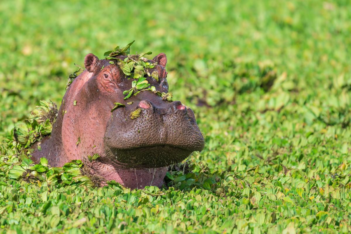 Hippo headress