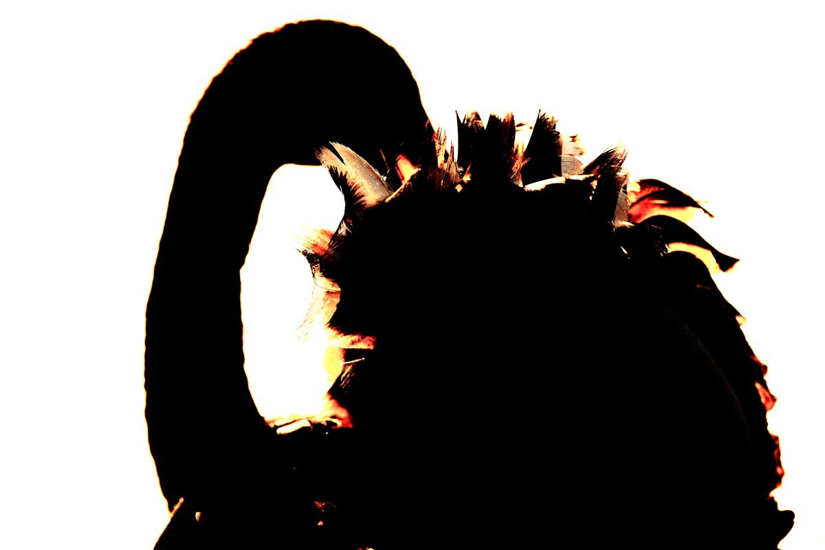 Illuminated Black Swan