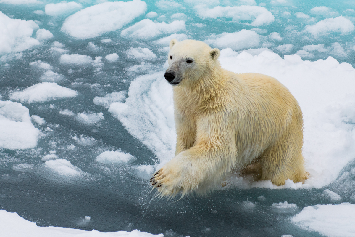 Leaping Polarbear