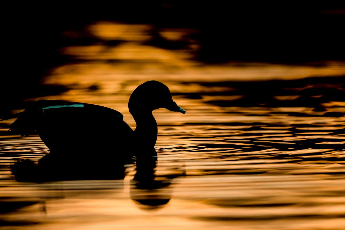 Pacific Black Duck silhouette