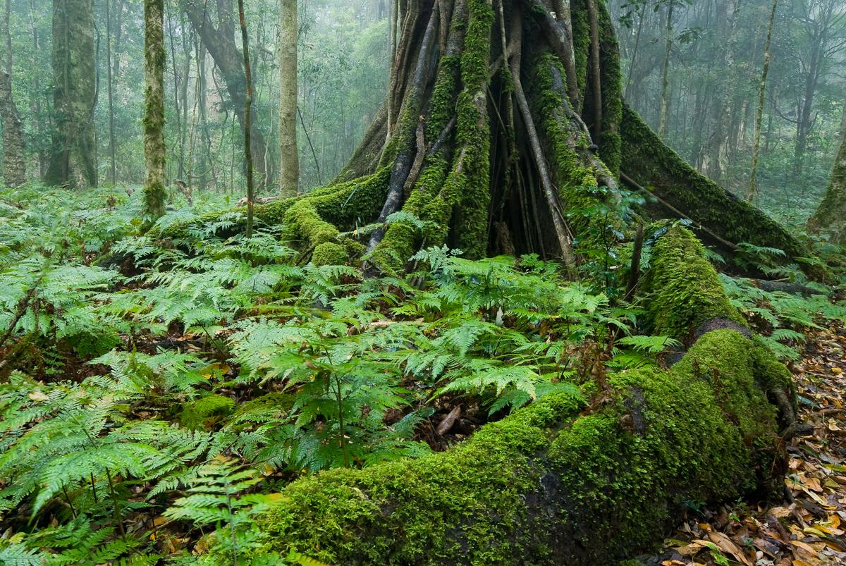 Rainforest buttress roots - Bunya Mountains