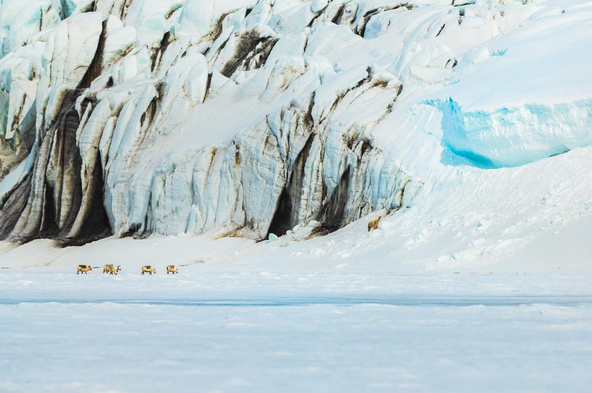 Reindeers and polar bear