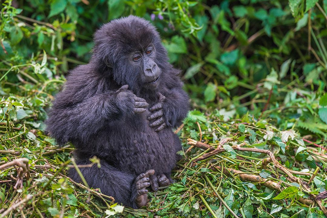 Young Mountain Gorilla Rwanda Africa