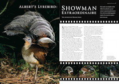 Albert's Lyrebird: Showman Extraordinaire Wingspan – March 2010