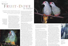 What Fruit-Dove is that? Wingspan – March 2006